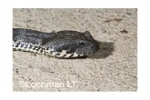 Common Death Adder LLF-605 © Lochman Transparencies