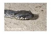Common Death Adder LLF-605 © Lochman Transparencies