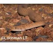 Death Adder LLG-573 © Lochman Transparencies