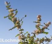 Hakea amplexicaulis Prickly Hakea AED-243 b ©Marie Lochman- Lochman LT