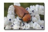 Julodimorpha saudersii LLN-800 ©Jiri Lochman - Lochman LT