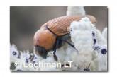 Julodimorpha saudersii LLN-801 ©Jiri Lochman - Lochman LT