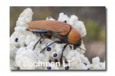 Julodimorpha saudersii LLN-802 ©Jiri Lochman - Lochman LT
