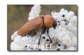 Julodimorpha saudersii LLN-803 ©Jiri Lochman - Lochman LT