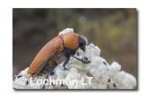 Julodimorpha saudersii LLN-806 ©Jiri Lochman - Lochman LT