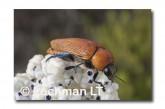 Julodimorpha saudersii LLN-807 ©Jiri Lochman - Lochman LT