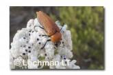 Julodimorpha saudersii LLN-808 ©Jiri Lochman - Lochman LT