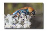 Julodimorpha saudersii LLN-809 ©Jiri Lochman - Lochman LT
