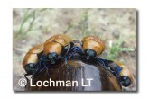 Julodimorpha saundersii KEY-945 ©Jiri Lochman- Lochman LT.
