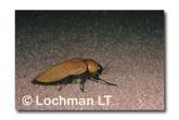 Julodimorpha saundersii LLY-664 ©Jiri Lochman- Lochman LT.