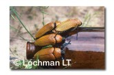 Julodimorpha saundersii LLY-666 ©Jiri Lochman- Lochman LT.