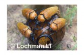 Julodimorpha saundersii LLY-669 ©Jiri Lochman- Lochman LT.