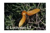 Julodimorpha saundersii LLY-813 ©Jiri Lochman- Lochman LT.