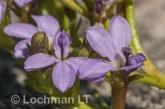 Anthotium humile LLN-423 ©Jiri Lochman- Lochman LT.