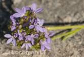 Anthotium humile LLN-425 ©Jiri Lochman- Lochman LT.