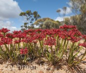 Anthotium rubriflorum Red Anthotium LLK-505  © Jiri Lochman LT