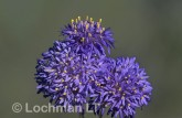 Brunonia australis Native Cornflower AO-128 © Marie Lochman.