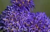 Brunonia australis Native Cornflower AO-133 © Marie Lochman.
