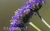 Brunonia australis Native Cornflower AO-139 © Marie Lochman.