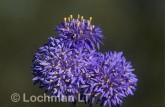 Brunonia australis Native Cornflower AOY-128 ©Marie Lochman- Lochman LT