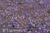 Brunonia australis Native Cornflower FX-648 © Marie Lochman.