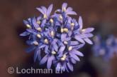 Brunonia australis Native Cornflower MM-986 © Marie Lochman.