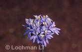 Brunonia australis Native Cornflower MM-987 © Marie Lochman.