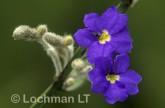 Dampiera angulata AI-949 © Marie Lochman.