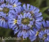 Dampiera wellsiana LLN-420 ©Jiri Lochman- Lochman LT.