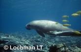 Dugong GTY-009 ©Geoff Taylor- Lochman LT.