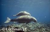 Dugong dugon DUGONG GTY-001 ©Geoff Taylor- Lochman LT.