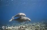 Dugong dugon DUGONG GTY-429 ©Geoff Taylor- Lochman LT.