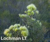 Hakea corymbosa Cauliflower Hakea LLN-898 ©Jiri Lochman - Lochman LT