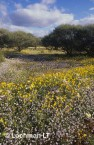 carpet of daisies-northern sandplain ABY-207 ©Marie Lochman- Lochman LT