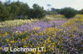 carpet of daisies-northern sandplain ACY-369 ©Marie Lochman- Lochman LT