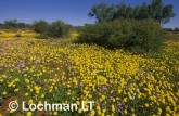 carpet of daisies-northern sandplain AKY-227 ©Marie Lochman- Lochman LT