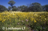 carpet of daisies-northern sandplain FXY-727 ©Marie Lochman- Lochman LT