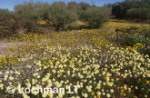carpet of daisies-northern sandplain MUY-896 ©Marie Lochman- Lochman LT