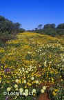 carpet of daisies-northern sandplain MUY-904 ©Marie Lochman- Lochman LT
