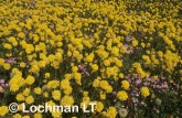 carpet of daisies-northern sandplain XJY-670 ©Jiri Lochman- Lochman LT