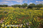 carpet of daisies-northern sandplain XMY-296 ©Jiri Lochman- Lochman LT