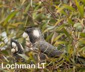 Carnaby's Black - Calyptorhynchus latirostris LLN-980 ©Jiri Lochman - Lochman LT