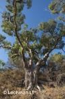 Eucalyptus gomphocephala Tuart  AED-112  ©Marie LochmanLT