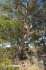 Eucalyptus gomphocephala Tuart  AED-113  ©Marie LochmanLT
