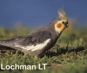 Nymphicus hollandicus Cockatiel RLY-748 ©Jiri Lochman- Lochman LT.