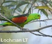 Red-Winged Parrot LLG-772 © Lochman Transparencies