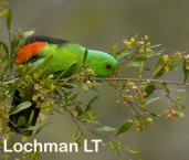 Red-Winged Parrot LLG-776 © Lochman Transparencies