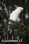 Cacatua galerita Sulphur-crested cockatoo HAY-486 ©Hans & Judy Beste - Lochman LT
