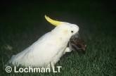 Cacatua galerita Sulphur-crested cockatoo PBY-091 ©Jiri Lochman - Lochman LT