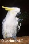 Cacatua galerita Sulphur-crested cockatoo YSY-767 ©Jiri Lochman - Lochman LT